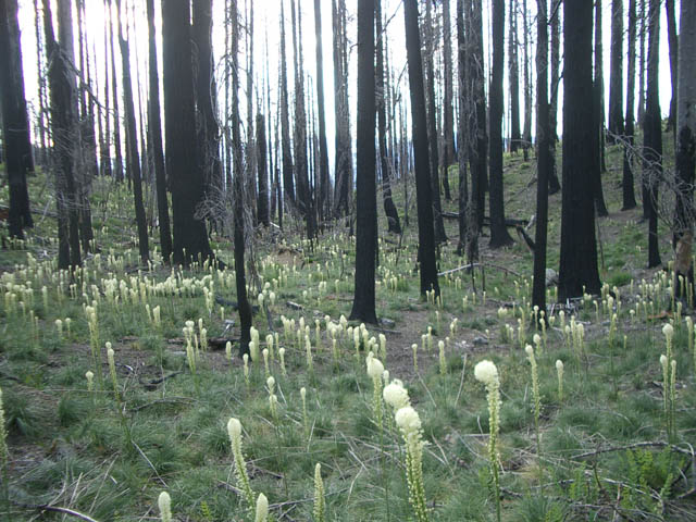 Bear grass returning in abundance 4 years after the Biscuit Fire