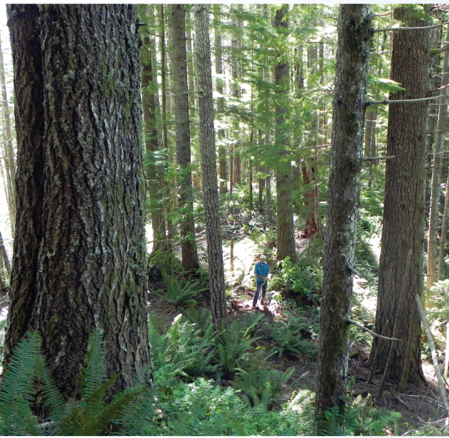 Forest Stand in Coos Bay BLM District proposed for logging