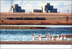 White pelicans at Hanford