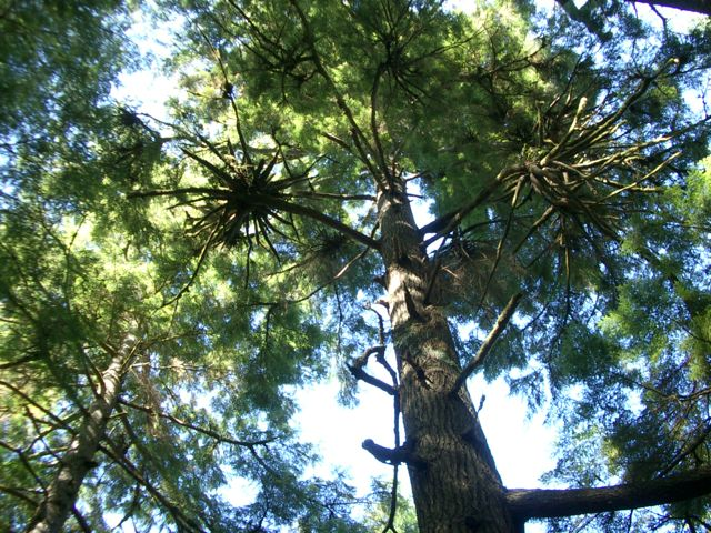 Coastal Old Growth Forest, Short Sands, OR