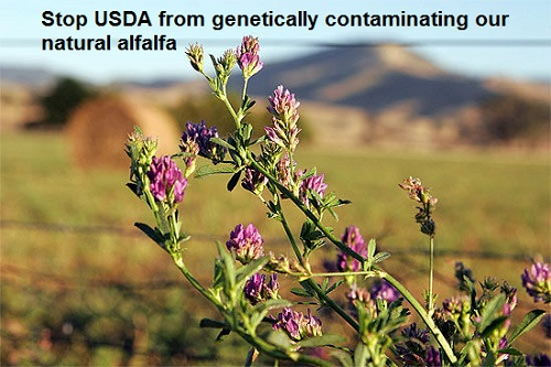 The USDA just deregulated GMO alfalfa (image from foodfreedom.wordpress.com)