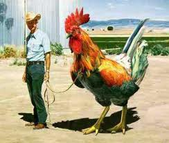 Giant chicken, small farmer