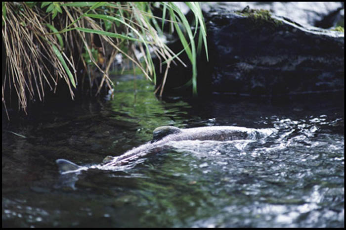 Salmon returning to Johnson Creek