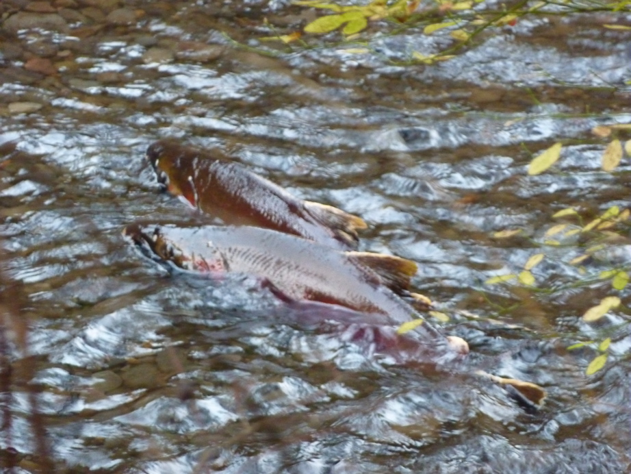 Salmon spawning in Eagle Creek