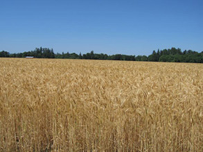 Stalford Seed Farms wheat