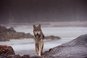 Rainforest Wolf - Central British Columbia Coast