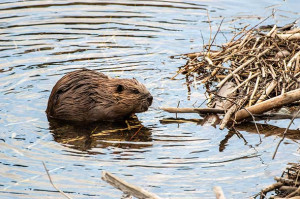 Beaver swimming-national park service photo